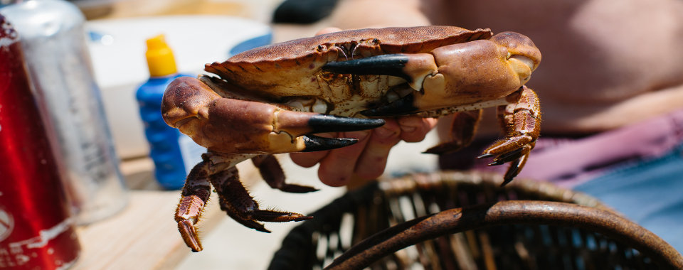 image of a live crab